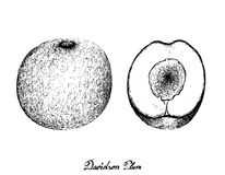 Hand Drawn of Davidson Plums on White Background. Exotic Fruits, Illustration of Hand Drawn Sketch Davidson Plums or Davidsonia Fruits Isolated on White Royalty Free Stock Image