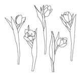Hand drawn decorative tulips isolated on white. Hand drawn illustration. Ink drawing flowers. Contour pencil drawing Stock Image