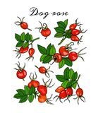 Hand drawn dog rose Stock Photography