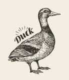 Hand-drawn duck. Bird, mallard, farm animal sketch. Vector illustration Royalty Free Stock Photography