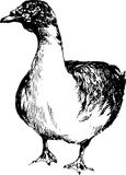 Hand drawn duck Royalty Free Stock Image