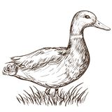 Hand drawn duck Stock Images