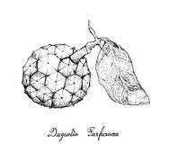 Hand Drawn of Duguetia Furfuracea Fruit on White Background Stock Images