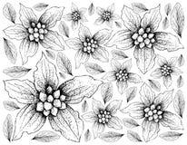 Hand Drawn of Dwarf Dogwood Fruits on White Background Stock Image