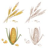 Hand drawn ears of wheat and corn isolated on white background Royalty Free Stock Photos