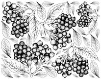 Hand Drawn of Elderberry Fruits on White Background Royalty Free Stock Photography