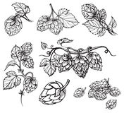 Hand drawn engraving style Hops set. Royalty Free Stock Photo