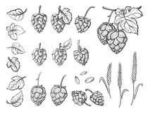 Hand drawn engraving style Hops set. Stock Image