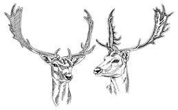 Hand drawn Fallow Deer heads. Stock Image