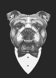 Hand drawn fashion Illustration of English Bulldog. Stock Image