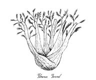 Hand Drawn of Fennel Bulb on White Background. Bulb & Stem Vegetable, Illustration of Hand Drawn Sketch Fresh Fennel or Foeniculum Vulgare Bulb with Stem and Stock Image