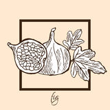 Hand drawn fig. Hand drawn decorative fig fruits, design elements. Can be used for cards, invitations, gift wrap, print, scrapbooking, labels, flyers, posters Royalty Free Stock Photo