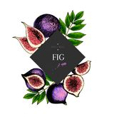 Hand drawn fig whole, sliced, half with leaves in design template. Colored engraved illustration. Square stylish frame. Composition. Restaurant menu, flyer Royalty Free Stock Photos