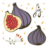 Hand drawn figs. Bio food illustration in vector format Stock Photo