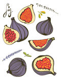 Hand drawn figs Stock Image