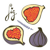Hand drawn figs and lavender Stock Images