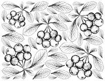 Hand Drawn of Firethorn Berries Fruits on White Background Stock Photo