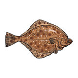 Hand drawn flounder, sketch style vector illustration Stock Photo