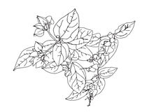 Hand drawn flowers of clerodendrum. Hand drawn sketch with house plant of clerodendrum Royalty Free Stock Images