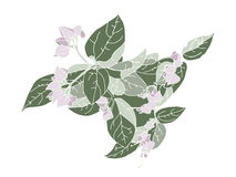 Hand drawn flowers of clerodendrum on a white background Stock Photography