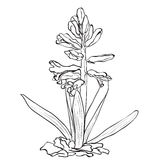 Hand drawn flowers - Garden hyacinth Royalty Free Stock Image