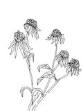 Hand drawn flowers of rudbeckia sketch Royalty Free Stock Photo