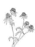 Hand drawn flowers of rudbeckia sketch. Hand drawn sketch with spring flowers of rudbeckia Royalty Free Stock Photo