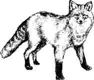Hand drawn fox. Illustration of Hand drawn fox Royalty Free Stock Photo