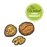 Colored Walnut On White. Hand drawn fresh walnut isolated on white background. Colorful close-up nuts. Vector illustration Stock Photos