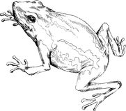 Hand drawn frog Stock Image