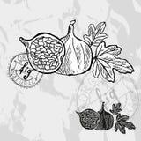 Hand drawn fruits Stock Image