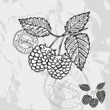 Hand drawn fruits Royalty Free Stock Image