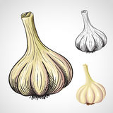 Hand drawn  garlic Stock Photo