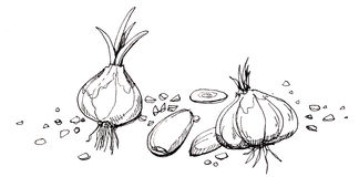 Garlic illustration drawing Stock Images