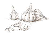 Hand drawn garlic Royalty Free Stock Images