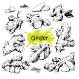 Hand drawn ginger set. Vector hand drawn Ginger set. Roots, ginger pieces and sliced of ginger. Engraved style illustration. Herbal spice. Detox food ingredient Royalty Free Stock Image