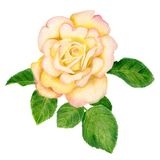 Hand-drawn golden rose. Pencilled golden rose with leaves Royalty Free Stock Images