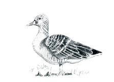 Hand drawn goose Stock Photography