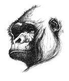 Hand drawn gorilla  eps8 Stock Images