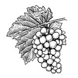 Hand drawn grape illustration. Design elements for poster, menu, banner, menu. Royalty Free Stock Images