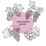 Hand drawn grapes Stock Images