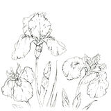 Hand drawn graphic flower iris Royalty Free Stock Images