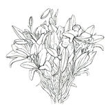 Hand drawn graphic flower Lilium Lily Lilies Stock Image