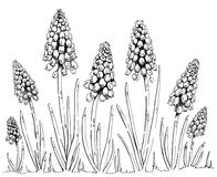 Hand drawn graphic flower Muscari. On white background Royalty Free Stock Photos