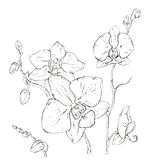 Hand drawn graphic flower orchid Royalty Free Stock Image