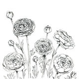 Hand drawn graphic flower Ranunculus. On white background Royalty Free Stock Image