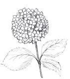 Hand drawn graphic hydrangea. Black and white raster illustration vector illustration