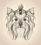Hand drawn graphic portrait of yorkshire terrier. Hand drawn graphic portrait of yorkshire terrier, front view vector illustration Royalty Free Stock Image