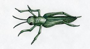 Hand drawn grasshopper Royalty Free Stock Image