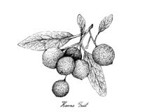 Hand Drawn of Hanza Fruits on White Background stock illustration